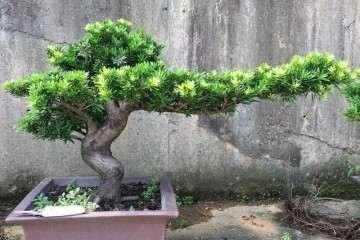 盆栽罗汉松怎么配土的方法 图片
