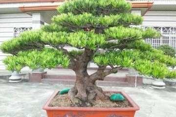 罗汉松盆栽怎么制作成盆景的方法
