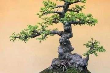 阿司匹林肠溶片可以让盆景生根
