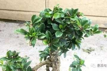 图解 茶花盆景怎么修剪的方法 9幅