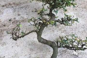 图解 榆树盆景怎么修剪萌芽的方法