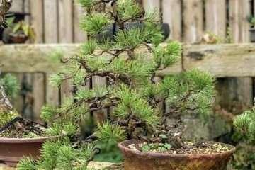 图解 松树盆景怎么换盆的方法