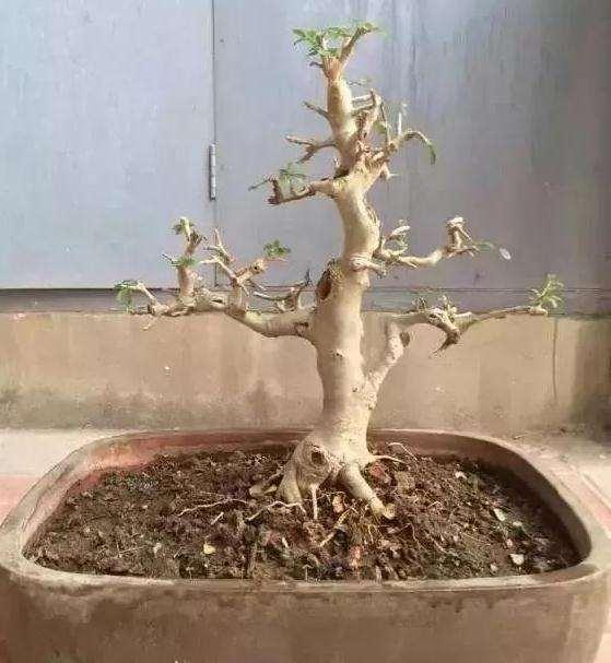 树桩盆景怎么修剪养护的方法