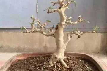 图解 树桩盆景怎么修剪养护的方法
