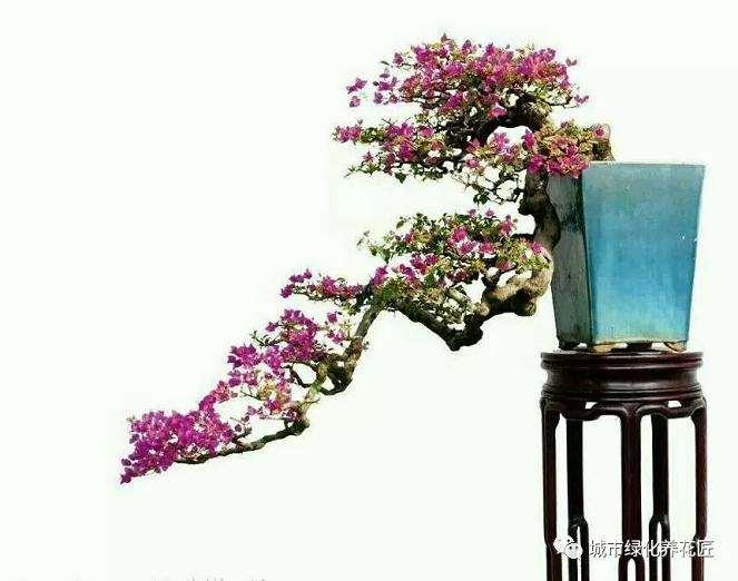 如何让三角梅盆景枝条催芽的技巧