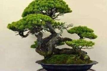 松树盆景造型怎么造型养护的方法
