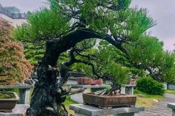 温州市盆景艺术界将迎来两大盛会