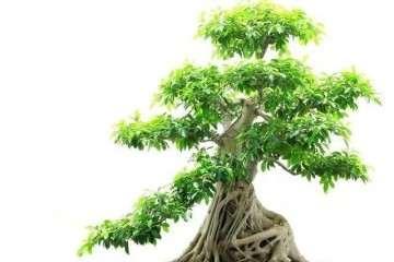 夏天榕树盆景怎么浇水施肥的方法