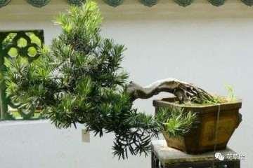 室内罗汉松盆景怎么浇水养殖方法