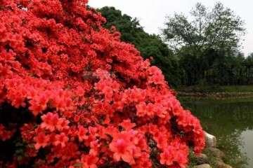 映山红盆景怎么修剪造型的4个方法