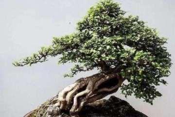 树桩盆景怎么栽培养护的3个方法