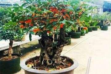 适合制作树桩盆景的植物有哪些