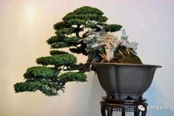 野生黄杨老桩盆景怎么萌芽发芽的方法