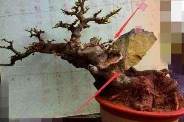 榆树盆景树桩中间有个洞应该怎么造型?