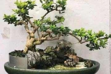 榆树盆景在三伏天怎么浇水