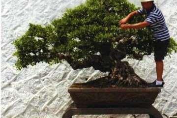 图解 榕树盆景怎么摘叶修剪的方法