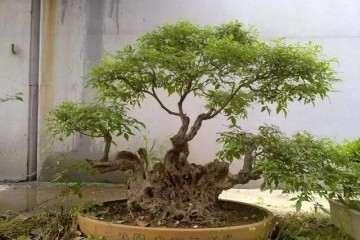 黄荆盆景怎么制作修剪的方法 图片