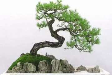黑松微盆景根系和枝干意境如何营造