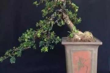 树桩盆景盆土怎么选盆上盆的方法