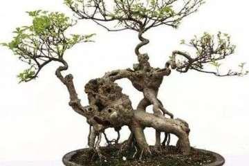 春季树桩盆景怎么施肥浇水的方法