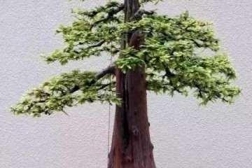 直干式盆景怎么根部造型的方法