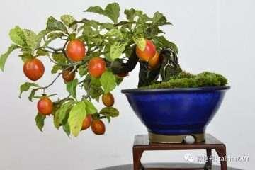 如何才能提高老鸦柿盆景的挂果率