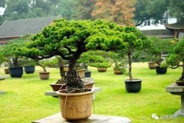 松树盆景怎么造型的方法 图片