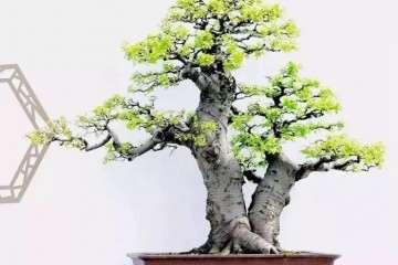 朴树盆景怎么造型加工的方法
