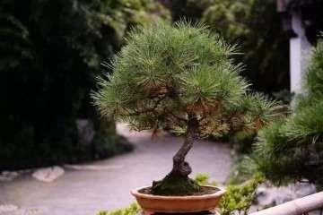 马尾松盆景在冬季怎么剪枝的方法