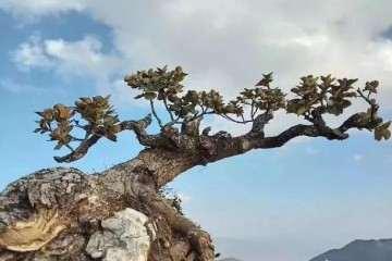 怎么培育树桩盆景的桩胚 图片