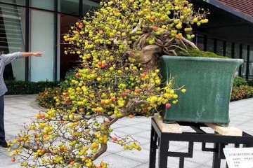 岭南盆景树种之红果介绍