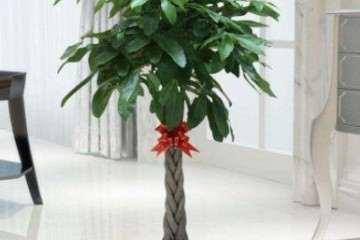 盆景植物发财树怎样管理的方法