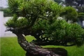 松树盆景土壤湿度多少最合适