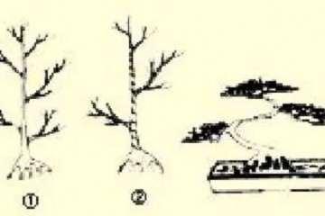 怎么制作二弯半树木盆景的方法