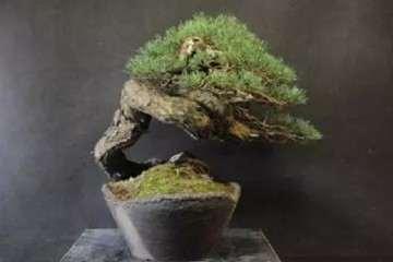 图解 赤松盆景怎么创作的方法