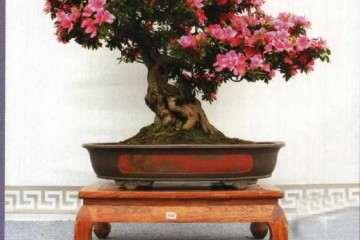 中国南山杜鹃盆景之乡授牌仪式隆重举行