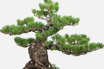 松树盆景在夏季怎么养护的4个方法