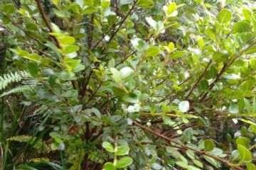 挖了一颗独杆黄杨盆景 有人说是赤楠