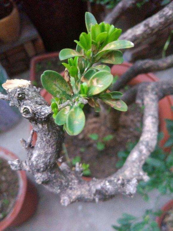 雀舌黄杨跟瓜子黄杨盆景