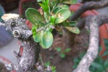 雀舌黄杨跟瓜子黄杨盆景 哪种最好养护