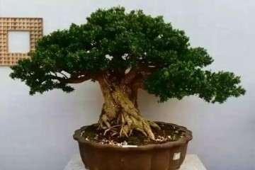 北海道黄杨盆景的侧芽怎么外植体培养