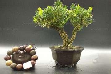 黄杨盆景的病虫害怎么防治的方法