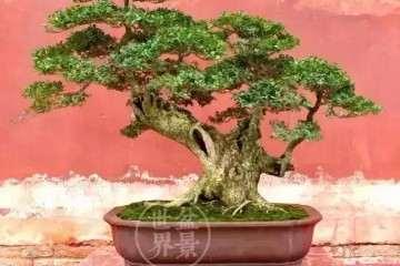 黄杨盆景商品苗怎么制作的方法
