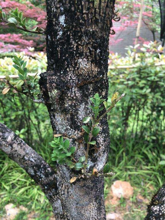 为什么黄杨下山桩现在发芽能稳定了