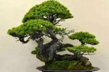 怎么制作根系悬露的松树盆景