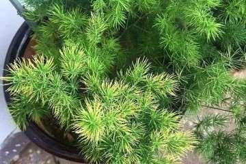 蓬莱松盆景营养不良 导致叶子发黄