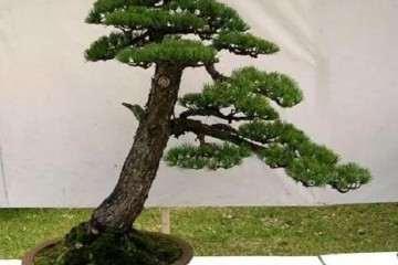 黄山松盆景树桩怎么造型的3个方法