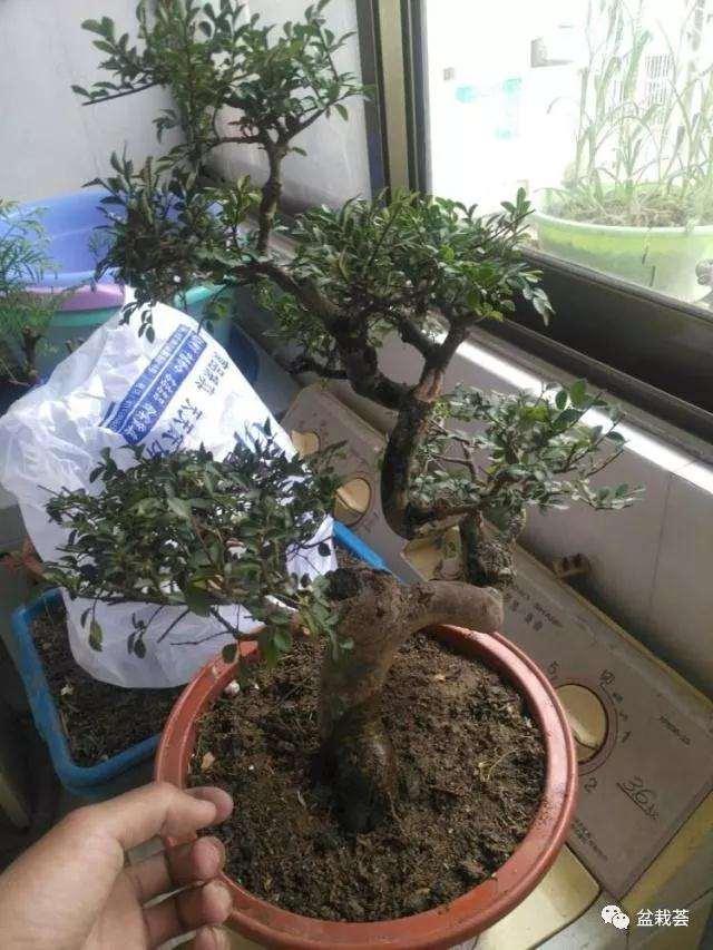 榆树老桩怎么制作成盆景的方法