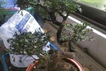 榆树老桩怎么制作成盆景的方法 图片