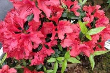 为什么映山红盆景先开花后长叶子 图片